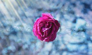 rose-ice-pink